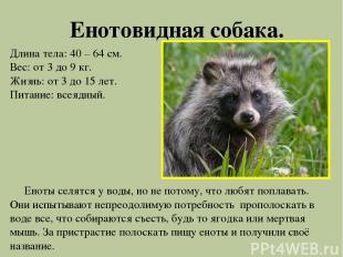 Енотовидная собака. Длина тела: 40 – 64 см. Вес: от 3 до 9 кг. Жизнь: от 3 до 15