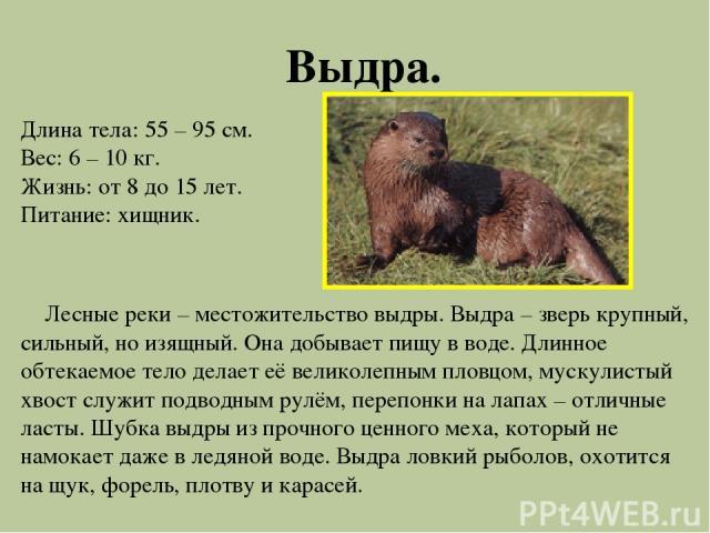 Выдра. Длина тела: 55 – 95 см. Вес: 6 – 10 кг. Жизнь: от 8 до 15 лет. Питание: хищник. Лесные реки – местожительство выдры. Выдра – зверь крупный, сильный, но изящный. Она добывает пищу в воде. Длинное обтекаемое тело делает её великолепным пловцом,…