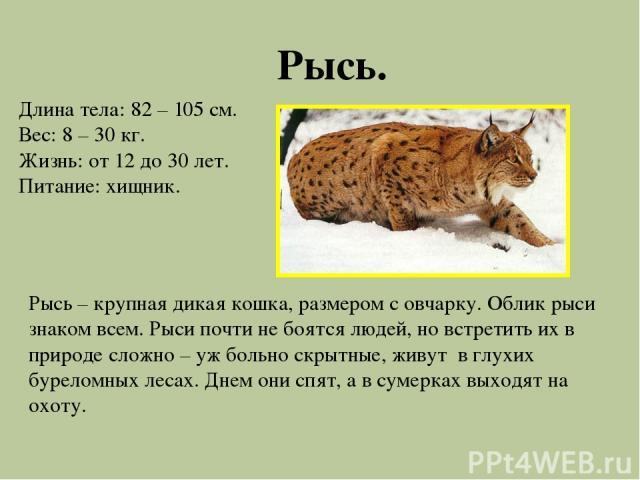 Рысь. Длина тела: 82 – 105 см. Вес: 8 – 30 кг. Жизнь: от 12 до 30 лет. Питание: хищник. Рысь – крупная дикая кошка, размером с овчарку. Облик рыси знаком всем. Рыси почти не боятся людей, но встретить их в природе сложно – уж больно скрытные, живут …