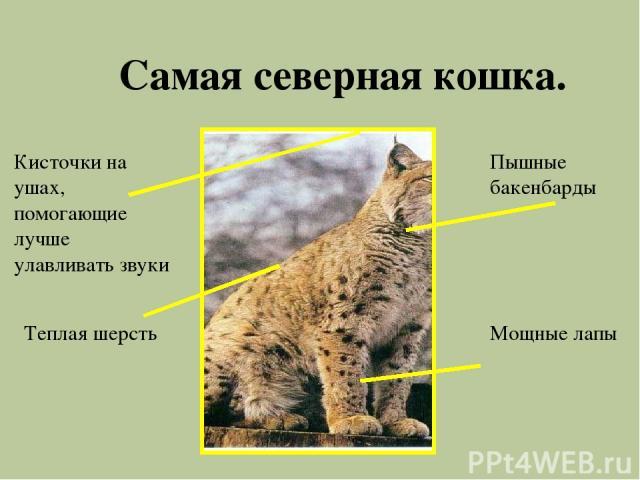 Самая северная кошка. Мощные лапы Пышные бакенбарды Кисточки на ушах, помогающие лучше улавливать звуки Теплая шерсть