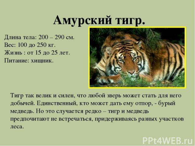 Амурский тигр. Длина тела: 200 – 290 см. Вес: 100 до 250 кг. Жизнь : от 15 до 25 лет. Питание: хищник. Тигр так велик и силен, что любой зверь может стать для него добычей. Единственный, кто может дать ему отпор, - бурый медведь. Но это случается ре…