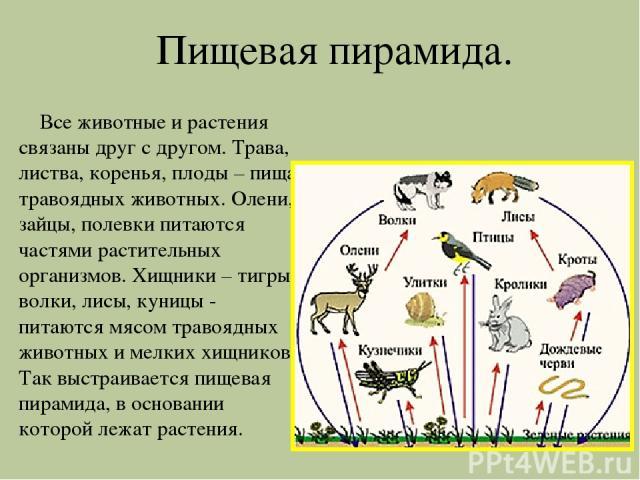 Пищевая пирамида. Все животные и растения связаны друг с другом. Трава, листва, коренья, плоды – пища травоядных животных. Олени, зайцы, полевки питаются частями растительных организмов. Хищники – тигры, волки, лисы, куницы - питаются мясом травоядн…