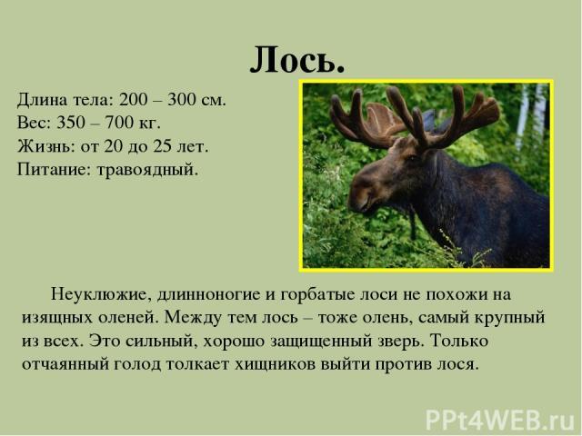 Лось. Длина тела: 200 – 300 см. Вес: 350 – 700 кг. Жизнь: от 20 до 25 лет. Питание: травоядный. Неуклюжие, длинноногие и горбатые лоси не похожи на изящных оленей. Между тем лось – тоже олень, самый крупный из всех. Это сильный, хорошо защищенный зв…