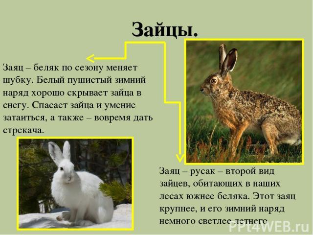 Зайцы. Заяц – беляк по сезону меняет шубку. Белый пушистый зимний наряд хорошо скрывает зайца в снегу. Спасает зайца и умение затаиться, а также – вовремя дать стрекача. Заяц – русак – второй вид зайцев, обитающих в наших лесах южнее беляка. Этот за…