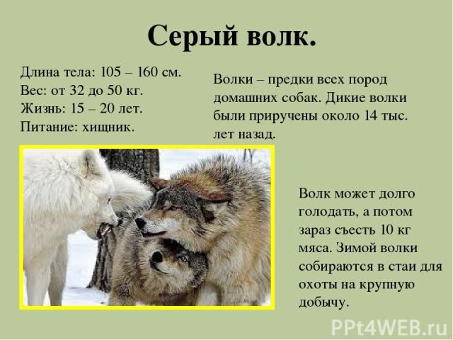 Серый волк. Длина тела: 105 – 160 см. Вес: от 32 до 50 кг. Жизнь: 15 – 20 лет. Питание: хищник. Волки – предки всех пород домашних собак. Дикие волки были приручены около 14 тыс. лет назад. Волк может долго голодать, а потом зараз съесть 10 кг мяса.…