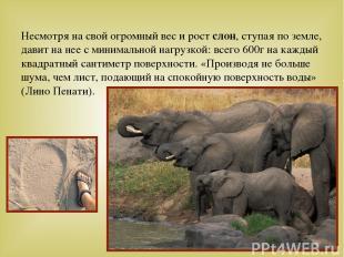 Несмотря на свой огромный вес и рост слон, ступая по земле, давит на нее с миним