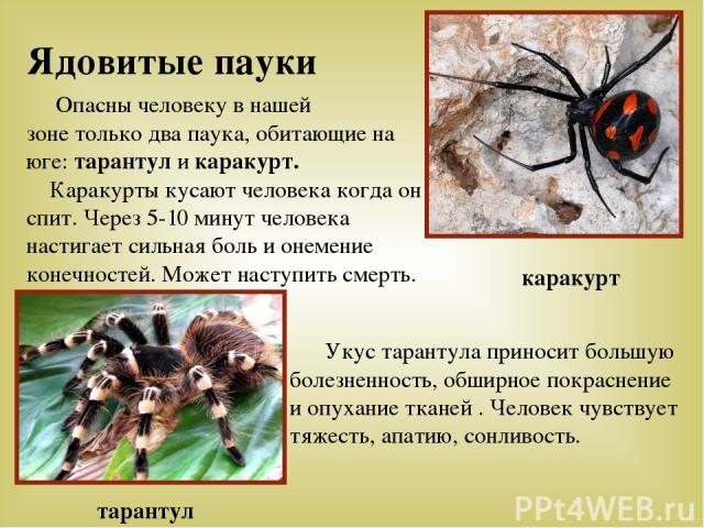Ядовитые пауки Опасны человеку в нашей зоне только два паука, обитающие на юге: тарантул и каракурт. Каракурты кусают человека когда он спит. Через 5-10 минут человека настигает сильная боль и онемение конечностей. Может наступить смерть. Укус таран…