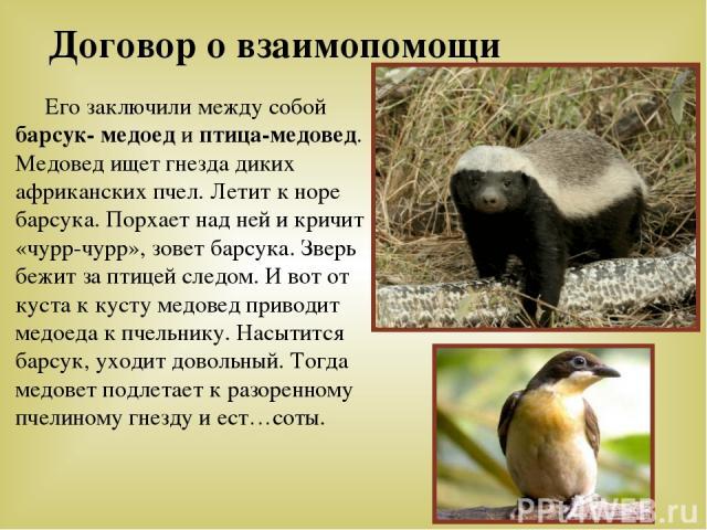 Договор о взаимопомощи Его заключили между собой барсук- медоед и птица-медовед. Медовед ищет гнезда диких африканских пчел. Летит к норе барсука. Порхает над ней и кричит «чурр-чурр», зовет барсука. Зверь бежит за птицей следом. И вот от куста к ку…
