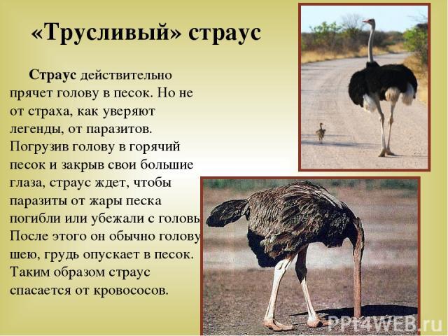 «Трусливый» страус Страус действительно прячет голову в песок. Но не от страха, как уверяют легенды, от паразитов. Погрузив голову в горячий песок и закрыв свои большие глаза, страус ждет, чтобы паразиты от жары песка погибли или убежали с головы. П…