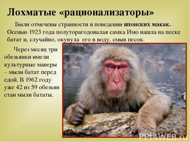 Были отмечены странности в поведении японских макак. Осенью 1923 года полуторагодовалая самка Имо нашла на песке батат и, случайно, окунула его в воду, смыв песок. Через месяц три обезьянки имели культурные манеры – мыли батат перед едой. В 1962 год…