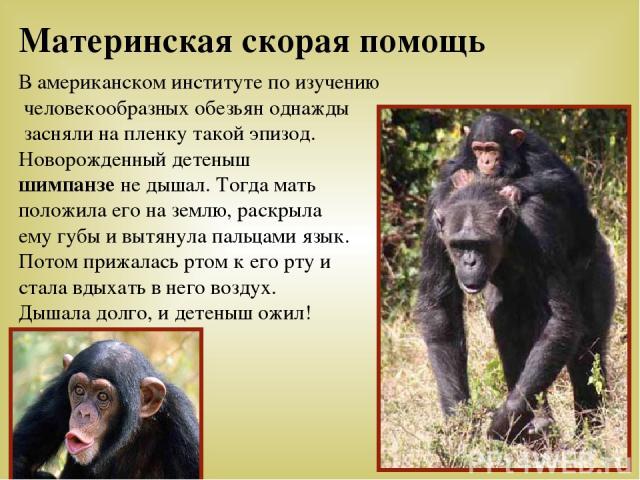 В американском институте по изучению человекообразных обезьян однажды засняли на пленку такой эпизод. Новорожденный детеныш шимпанзе не дышал. Тогда мать положила его на землю, раскрыла ему губы и вытянула пальцами язык. Потом прижалась ртом к его р…