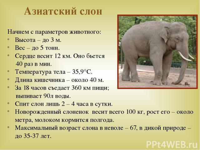 Азиатский слон Начнем с параметров животного: Высота – до 3 м. Вес – до 5 тонн. Сердце весит 12 км. Оно бьется 40 раз в мин. Температура тела – 35,9°С. Длина кишечника – около 40 м. За 18 часов съедает 360 км пищи; выпивает 90л воды. Спит слон лишь …
