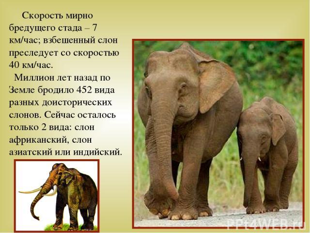 Скорость мирно бредущего стада – 7 км/час; взбешенный слон преследует со скоростью 40 км/час. Миллион лет назад по Земле бродило 452 вида разных доисторических слонов. Сейчас осталось только 2 вида: слон африканский, слон азиатский или индийский.
