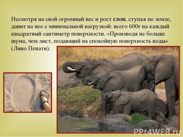 Несмотря на свой огромный вес и рост слон, ступая по земле, давит на нее с минимальной нагрузкой: всего 600г на каждый квадратный сантиметр поверхности. «Производя не больше шума, чем лист, подающий на спокойную поверхность воды» (Лино Пенати).