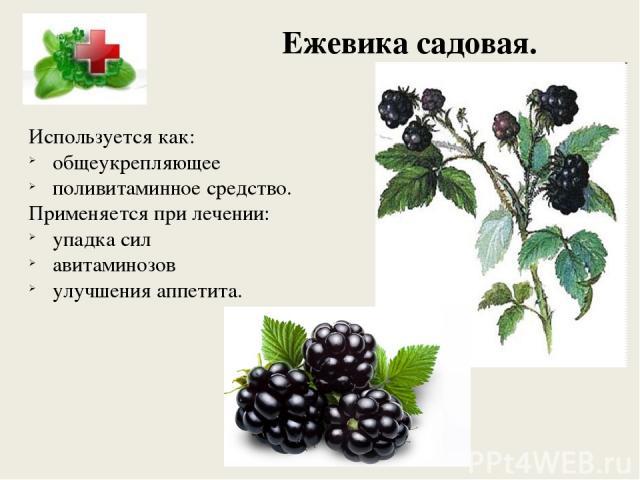 Ежевика садовая. Используется как: общеукрепляющее поливитаминное средство. Применяется при лечении: упадка сил авитаминозов улучшения аппетита.