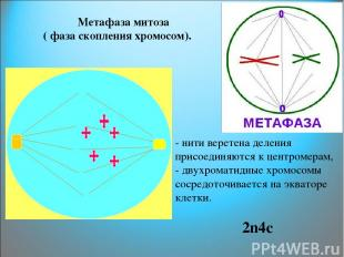 Метафаза митоза ( фаза скопления хромосом). - нити веретена деления присоединяют