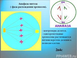 Анафаза митоза ( фаза расхождения хромосом). - центромеры делятся, - однохромоти