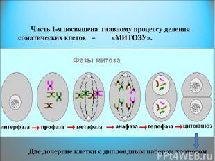 Часть 1-я посвящена главному процессу деления соматических клеток – «МИТОЗУ». Дв