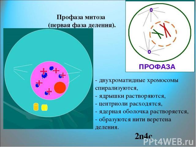 Профаза митоза (первая фаза деления). - двухроматидные хромосомы спирализуются, - ядрышки растворяются, - центриоли расходятся, - ядерная оболочка растворяется, - образуются нити веретена деления. 2n4с