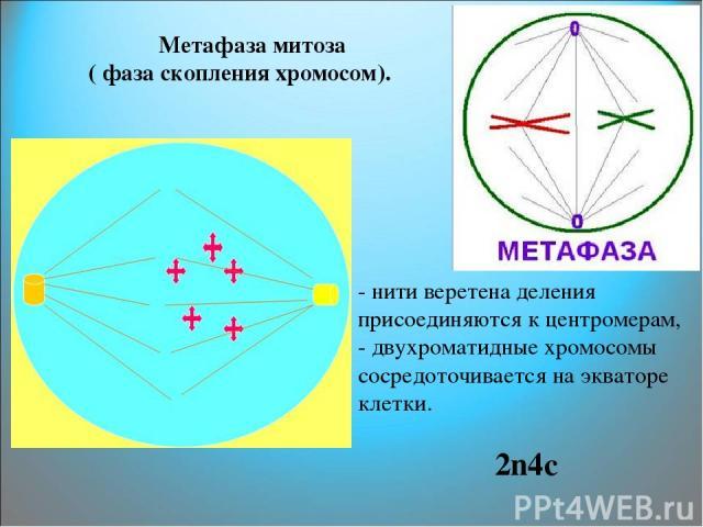 Метафаза митоза ( фаза скопления хромосом). - нити веретена деления присоединяются к центромерам, - двухроматидные хромосомы сосредоточивается на экваторе клетки. 2n4c