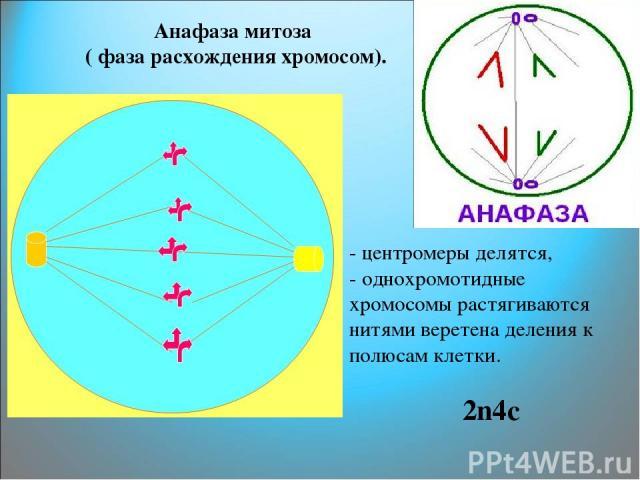 Анафаза митоза ( фаза расхождения хромосом). - центромеры делятся, - однохромотидные хромосомы растягиваются нитями веретена деления к полюсам клетки. 2n4c