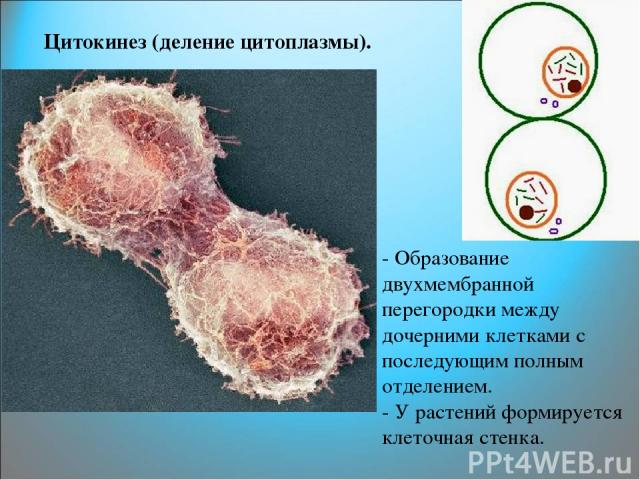 Цитокинез (деление цитоплазмы). - Образование двухмембранной перегородки между дочерними клетками с последующим полным отделением. - У растений формируется клеточная стенка.