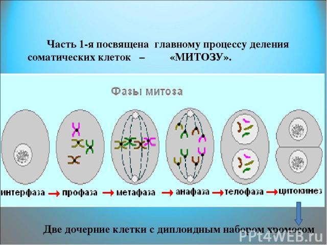 Часть 1-я посвящена главному процессу деления соматических клеток – «МИТОЗУ». Две дочерние клетки с диплоидным набором хромосом