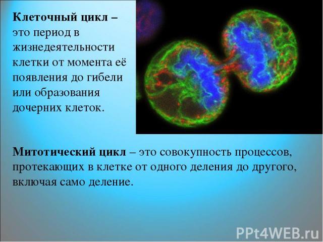 Клеточный цикл – это период в жизнедеятельности клетки от момента её появления до гибели или образования дочерних клеток. Митотический цикл – это совокупность процессов, протекающих в клетке от одного деления до другого, включая само деление.