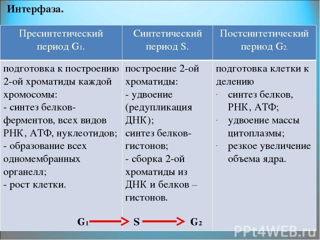 Интерфаза. G1 S G2 ПресинтетическийпериодG1. Синтетический периодS. ПостсинтетическийпериодG2. подготовка к построению2-ой хроматиды каждой хромосомы: - синтез белков-ферментов, всех видов РНК, АТФ, нуклеотидов; - образование всеходномембранныхорган…