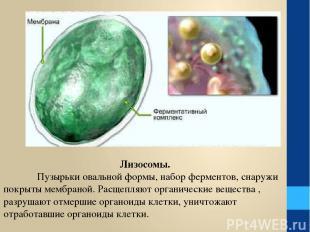 Лизосомы. Пузырьки овальной формы, набор ферментов, снаружи покрыты мембраной. Р