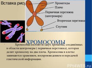 ХРОМОСОМЫ Хромосома состоит из двух хроматид, соединённых в области центромеры (