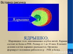 ЯДРЫШКО. Шаровидное тело, напоминающее клубок нитей. Ядрышко состоит из белка и