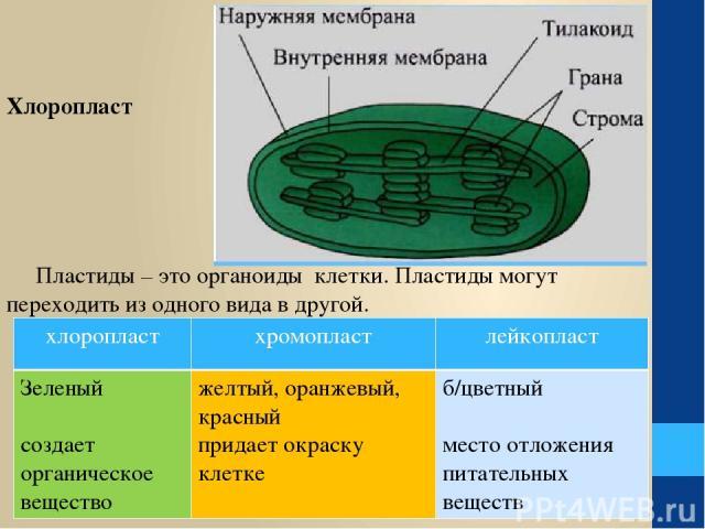 Пластиды – это органоиды клетки. Пластиды могут переходить из одного вида в другой. Хлоропласт хлоропласт хромопласт лейкопласт Зеленый создает органическое вещество желтый, оранжевый, красный придает окраску клетке б/цветный место отложения питател…