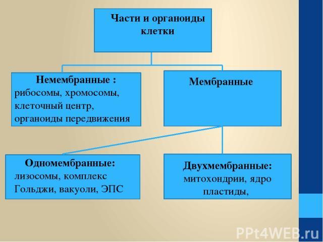 Части и органоиды клетки Немембранные : рибосомы, хромосомы, клеточный центр, органоиды передвижения Мембранные Одномембранные: лизосомы, комплекс Гольджи, вакуоли, ЭПС Двухмембранные: митохондрии, ядро пластиды,
