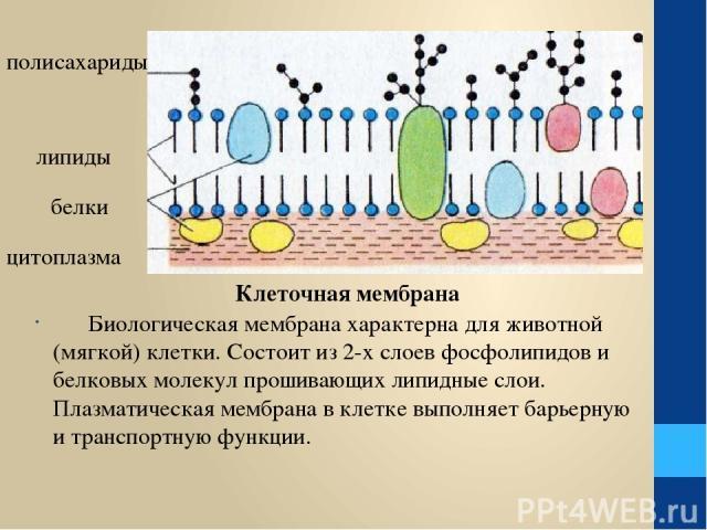 Биологическая мембрана характерна для животной (мягкой) клетки. Состоит из 2-х слоев фосфолипидов и белковых молекул прошивающих липидные слои. Плазматическая мембрана в клетке выполняет барьерную и транспортную функции. полисахариды липиды белки ци…