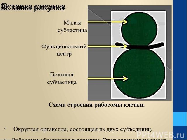 Округлая органелла, состоящая из двух субъединиц. Рибосомы образуются в ядрышке. Этот органоид не имеет мембран, состоит из белка и р-РНК.Данный органоид активный участник синтеза клеточного белка. Схема строения рибосомы клетки. Малая субчастица Фу…