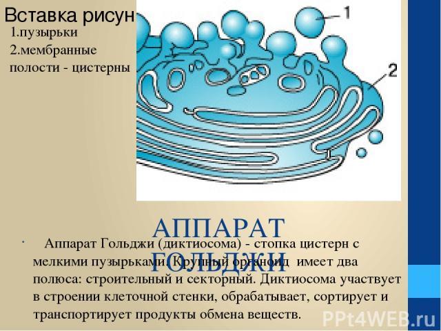 АППАРАТ ГОЛЬДЖИ Аппарат Гольджи (диктиосома) - стопка цистерн с мелкими пузырьками. Крупный органоид имеет два полюса: строительный и секторный. Диктиосома участвует в строении клеточной стенки, обрабатывает, сортирует и транспортирует продукты обме…