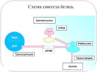 Схема синтеза белка.