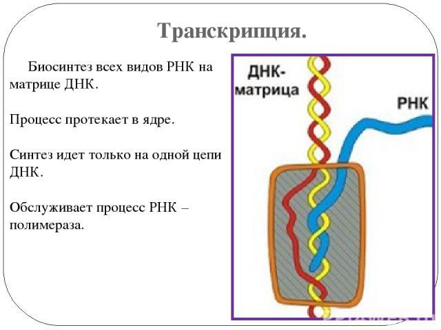 Транскрипция. Биосинтез всех видов РНК на матрице ДНК. Процесс протекает в ядре. Синтез идет только на одной цепи ДНК. Обслуживает процесс РНК – полимераза.