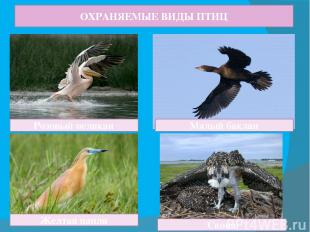 ОХРАНЯЕМЫЕ ВИДЫ ПТИЦ Розовый пеликан Малый баклан Желтая цапля Скопа
