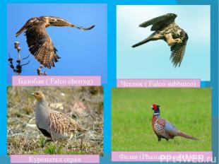 Балобан ( Falco cherrug) Чеглок ( Falco subbuteo) Куропатка серая Фазан (Phasian