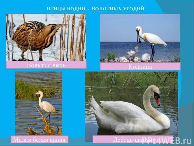 ПТИЦЫ ВОДНО - БОЛОТНЫХ УГОДИЙ Большая выпь Малая белая цапля Колпица Лебедь-шипун