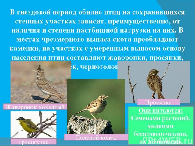 В гнездовой период обилие птиц на сохранившихся степных участках зависит, преимущественно, от наличия и степени пастбищной нагрузки на них. В местах чрезмерного выпаса скота преобладают каменки, на участках с умеренным выпасом основу населения птиц …