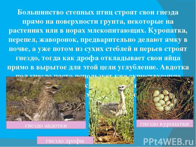 Большинство степных птиц строят свои гнезда прямо на поверхности грунта, некоторые на растениях или в норах млекопитающих. Куропатка, перепел, жаворонок, предварительно делают ямку в почве, а уже потом из сухих стеблей и перьев строят гнездо, тогда …