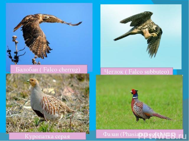 Балобан ( Falco cherrug) Чеглок ( Falco subbuteo) Куропатка серая Фазан (Phasianus colchicux)