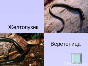 Желтопузик Веретеница