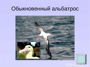 Обыкновенный альбатрос