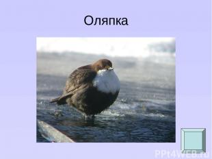Оляпка