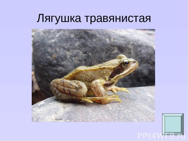 Лягушка травянистая