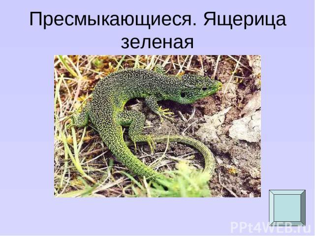 Пресмыкающиеся. Ящерица зеленая